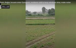 Locusts Enter Gurugram
