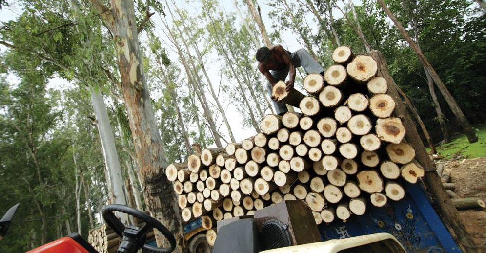 Government removed fees from poplar and Eucalyptus